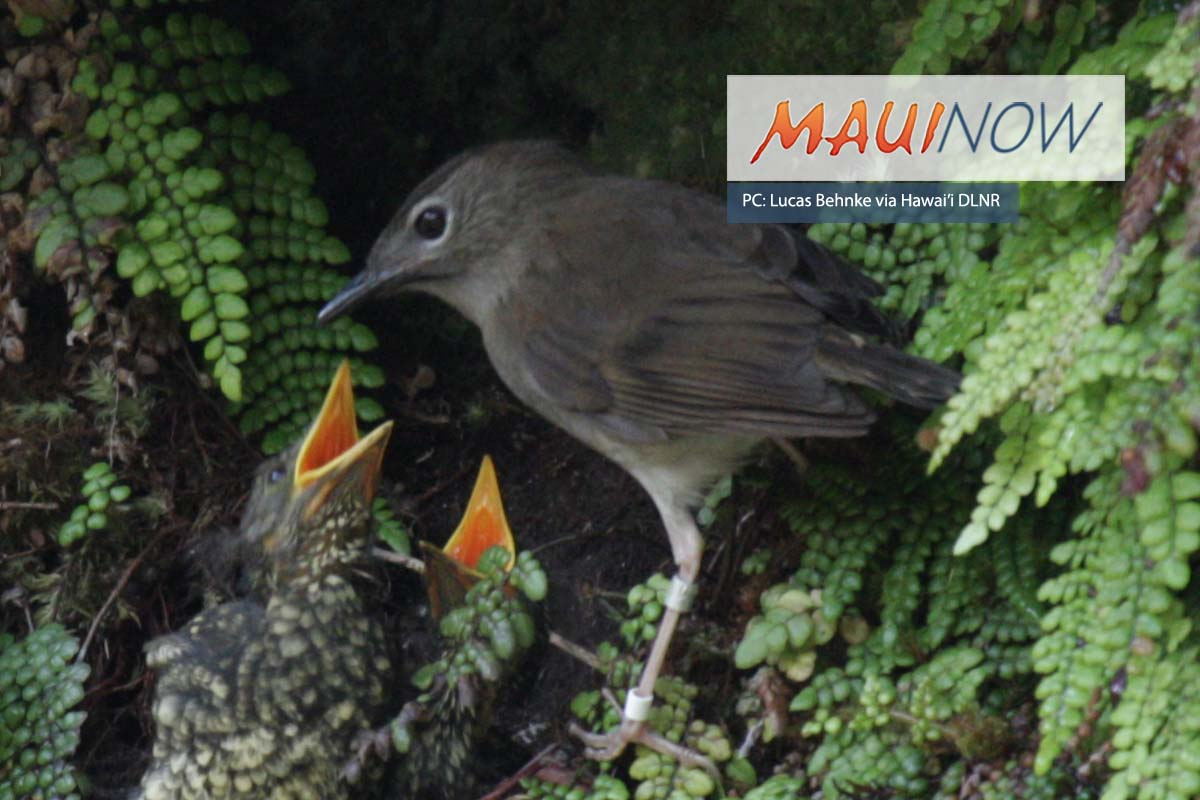 Study Explores Native Bird Survival in Kaua'i's Forests