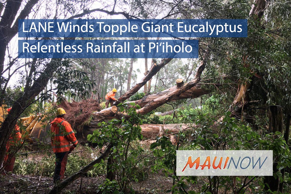 LANE Winds Topple Giant Eucalyptus at Pi'iholo