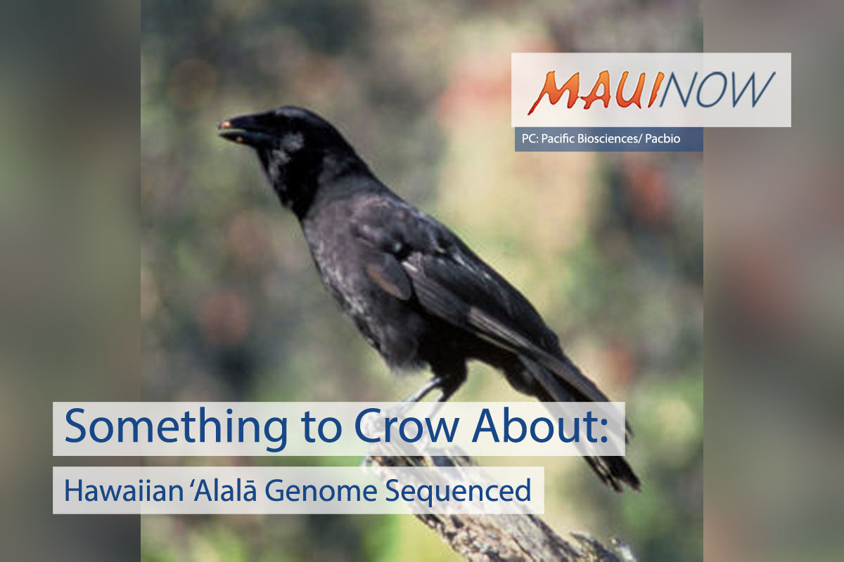 Something to Crow About: Hawaiian 'Alalā Genome Sequenced