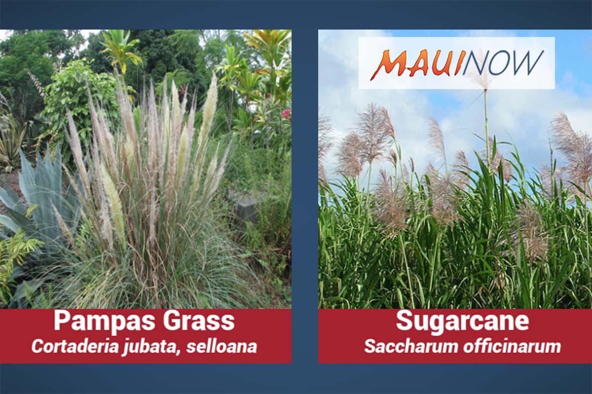 Noxious Weed is Wide-Spread on Maui, Eradication Underway on Big Island