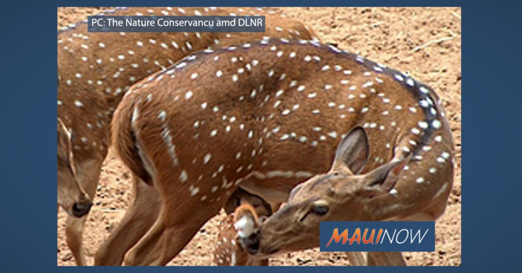 Maui Now: Lāna'i Axis Deer Hunting Applications Available Monday