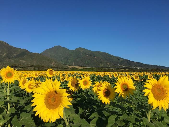 Free Presentation on Maui Sunflower Farming, Oct. 3