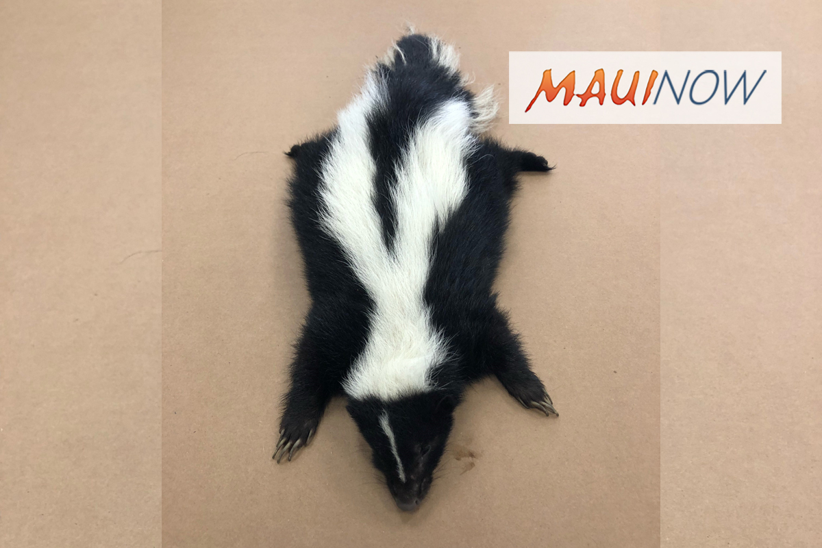 Live Skunk Found on Maui in Trucking Container