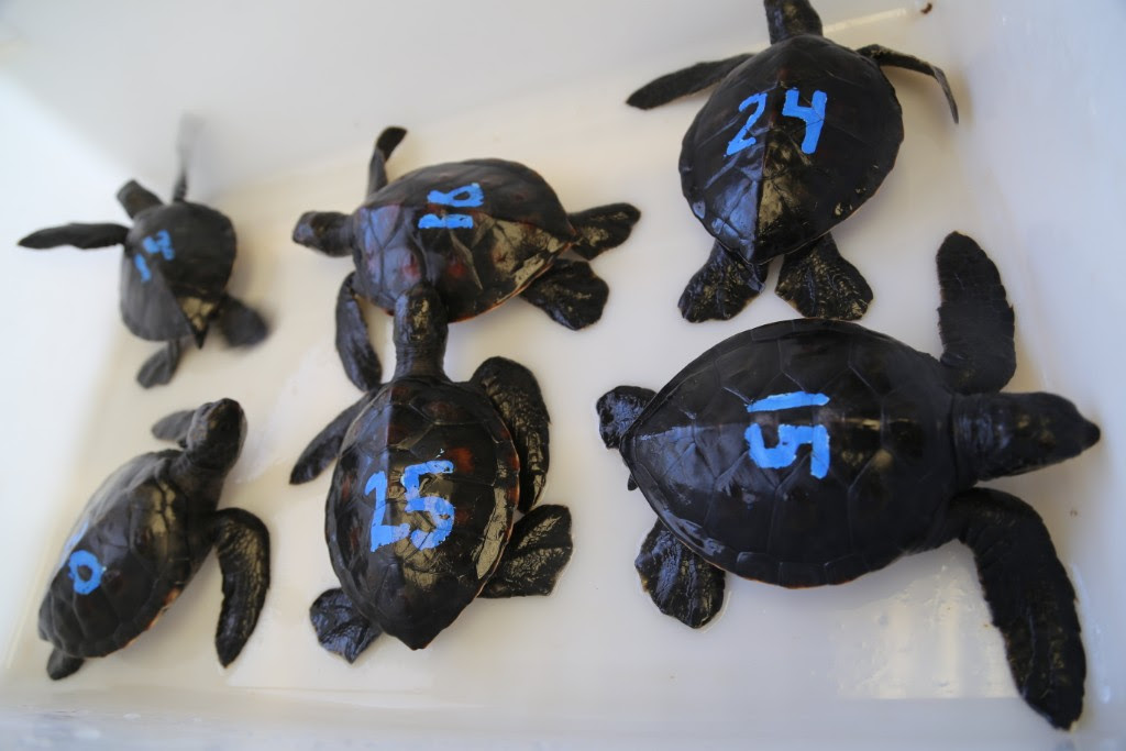 Turtle Hatchlings Arrive at Maui Ocean Center
