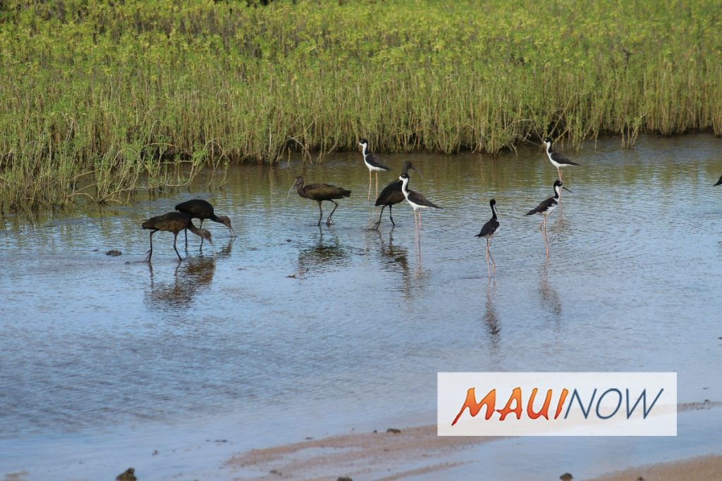 Maui Now: Keālia Pond Celebrates National Wildlife Refuge Week, Oct. 14-20