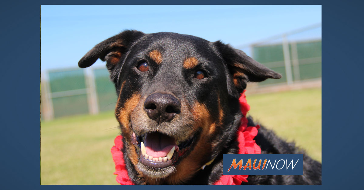 Maui Humane Society Seeking Short-Term Foster Homes for Dogs