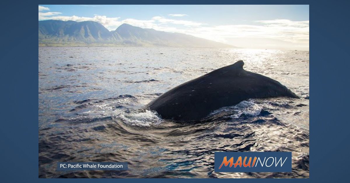 Pacific Whale Foundation Celebrates Start of Whale Season