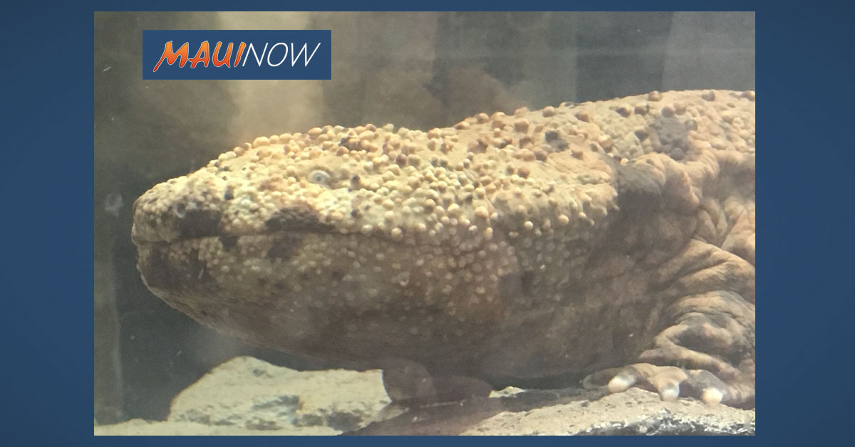 Giant Salamanders in Honolulu Become First to Lay Eggs Outside of Japan