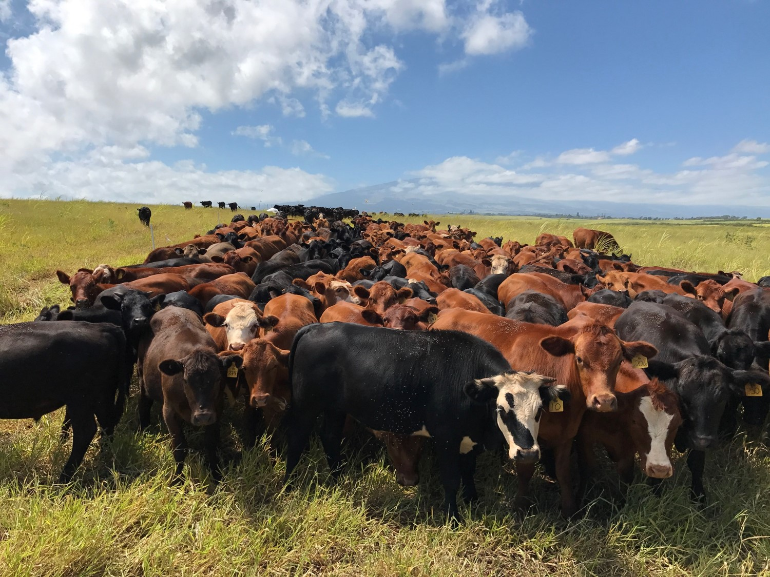 Mahi Pono Enters Majority Partnership with Maui Cattle Company