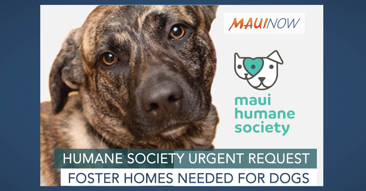 Maui Humane Society Seeks Foster Homes for Dogs