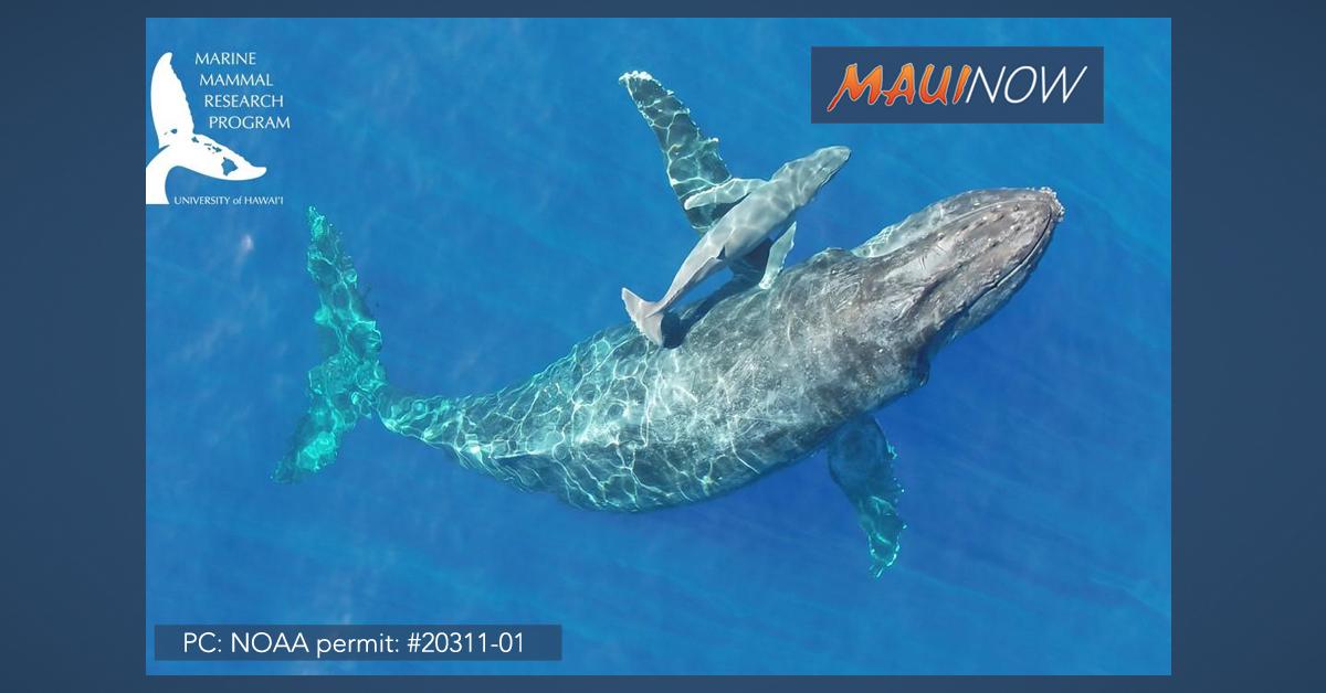 Rare New Video of Newborn Humpback Whale