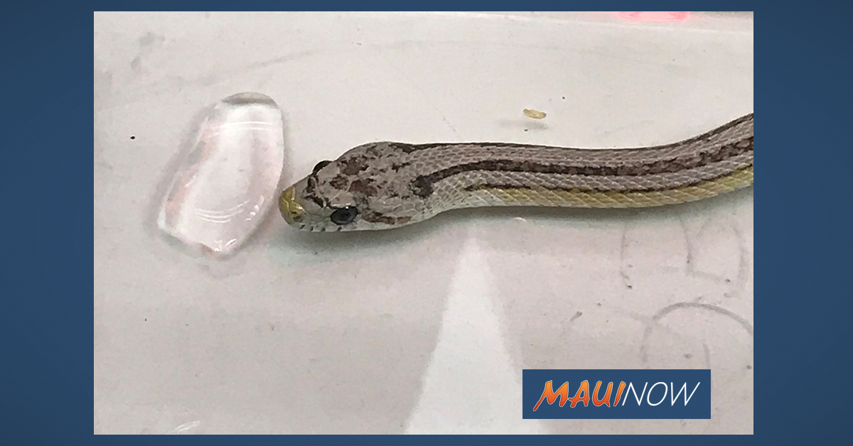 Invasive Corn Snake Found in Waipahu