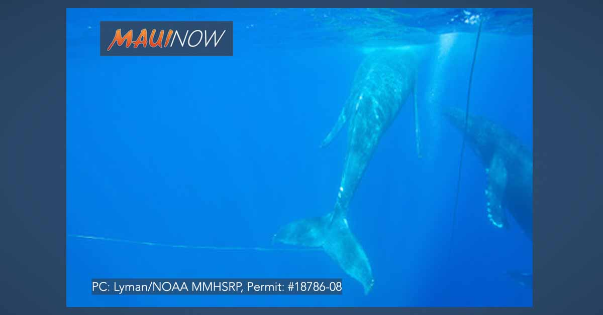 Crews Respond to Entangled Humpback off Maui