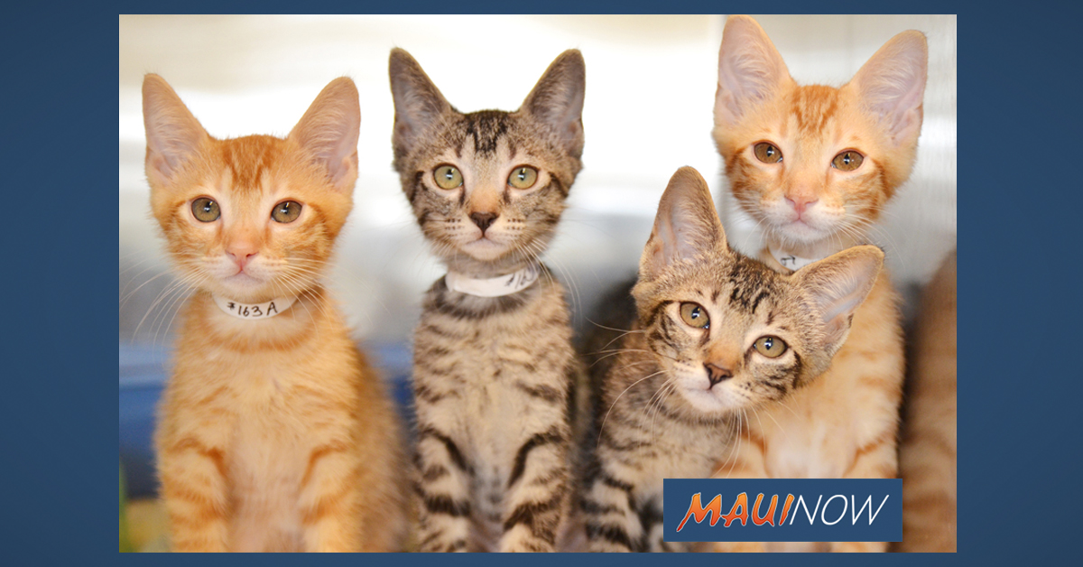 Maui Humane Society to Host Kitten Baby Shower