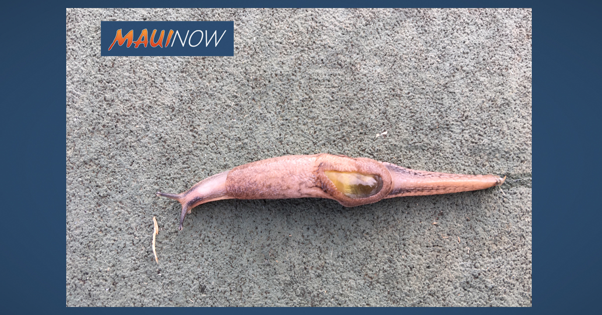Semi-Slug Found in Kohala Sparks Rat Lungworm Vigilance