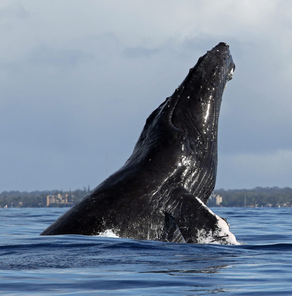 219 Humpbacks Observed During Whale Count Off Maui