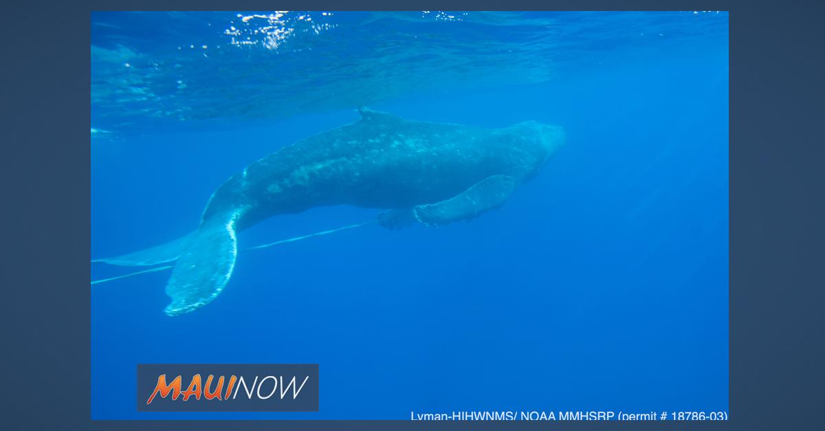 Entangled Humpback Whale Freed of Gear Off Maui