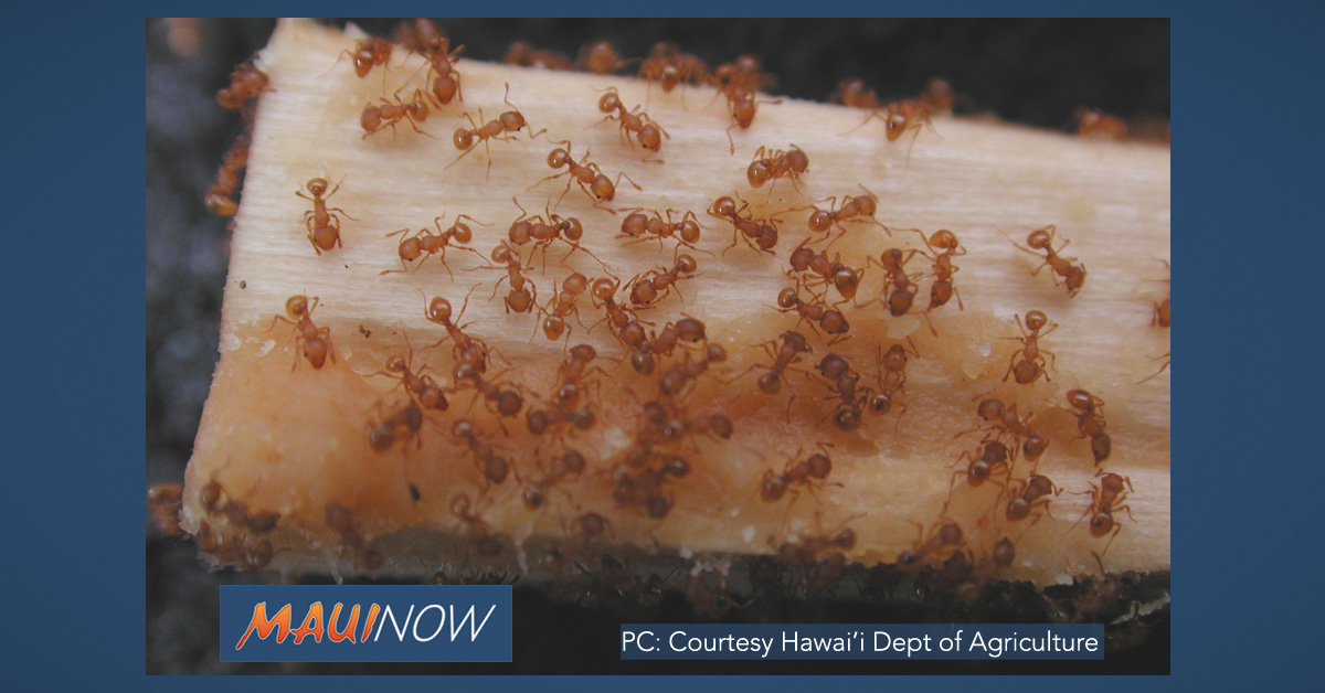 New Infestation of Little Fire Ants Treated in ʻĀhuimanu