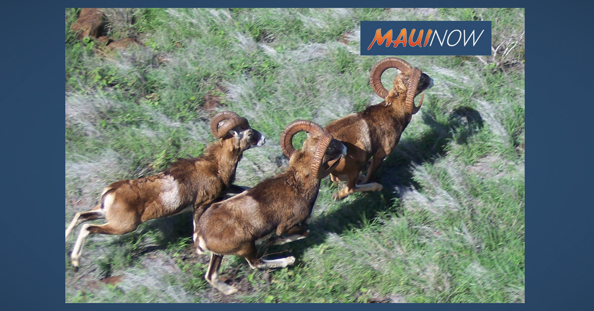 2019 Lāna'i Mouflon Sheep Hunting Season Begins