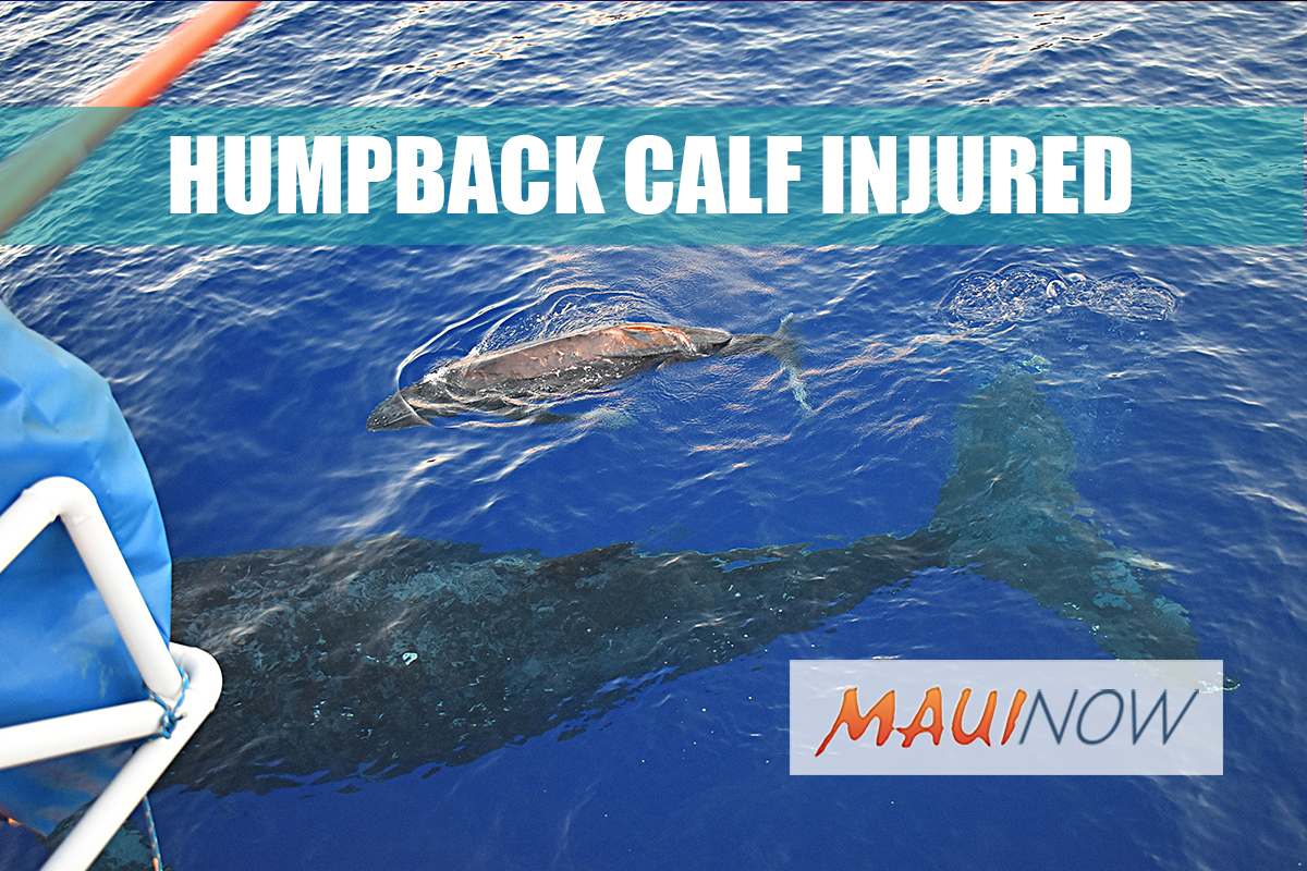 Injured Humpback Calf Spotted in Maui Waters
