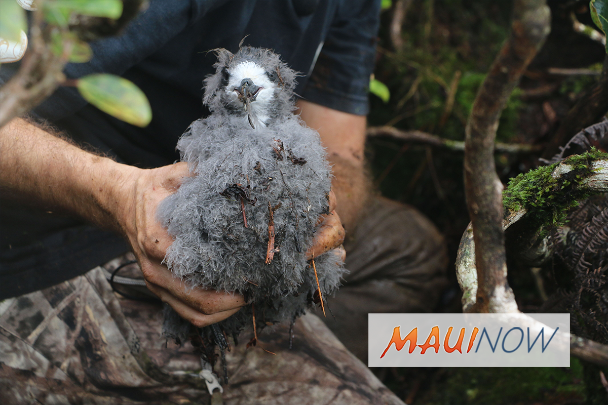 "DLNR Aims to Raise Awareness on Endangered Hawaiian Petrels With ""ʻUaʻu Nights"""