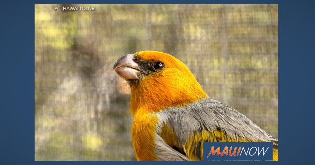 Maui Now: Six Palila Released into Newly Restored Forest