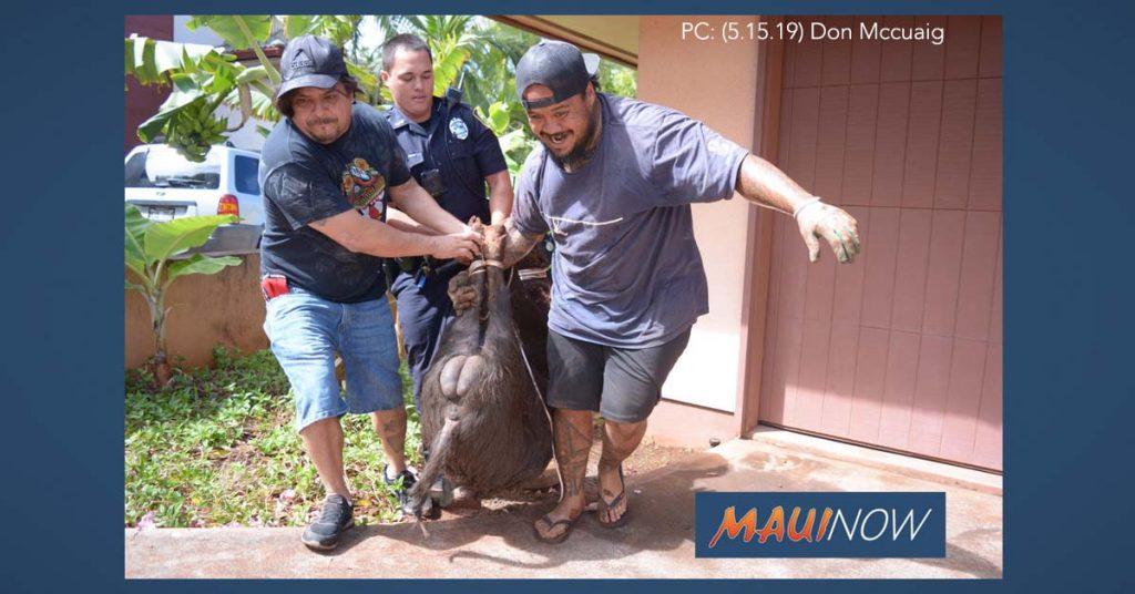 Maui Now: Wild Boar Captured in Kā'anapali Neighborhood