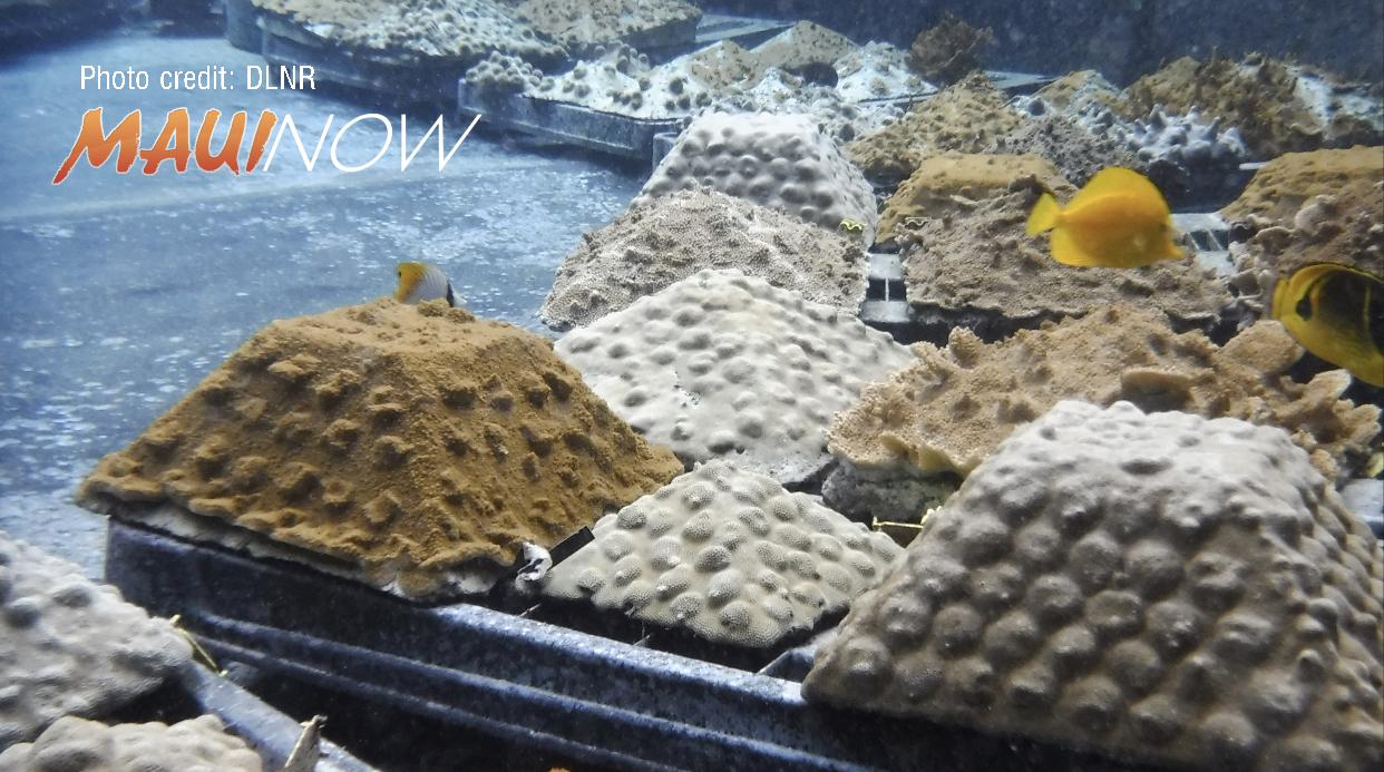 Rare Corals Planted During Coralpalooza