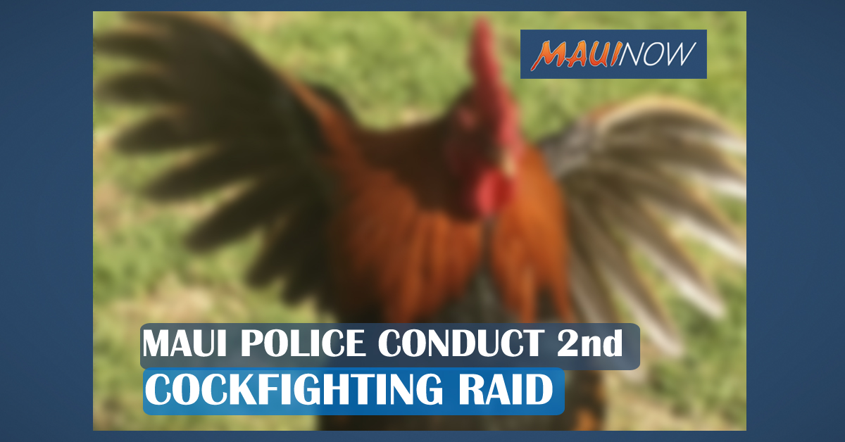 Maui Police Conduct 2nd Cockfighting Raid in As Many Weeks