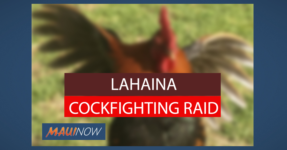 Lahaina Cockfighting Raid Nets 2 Arrests