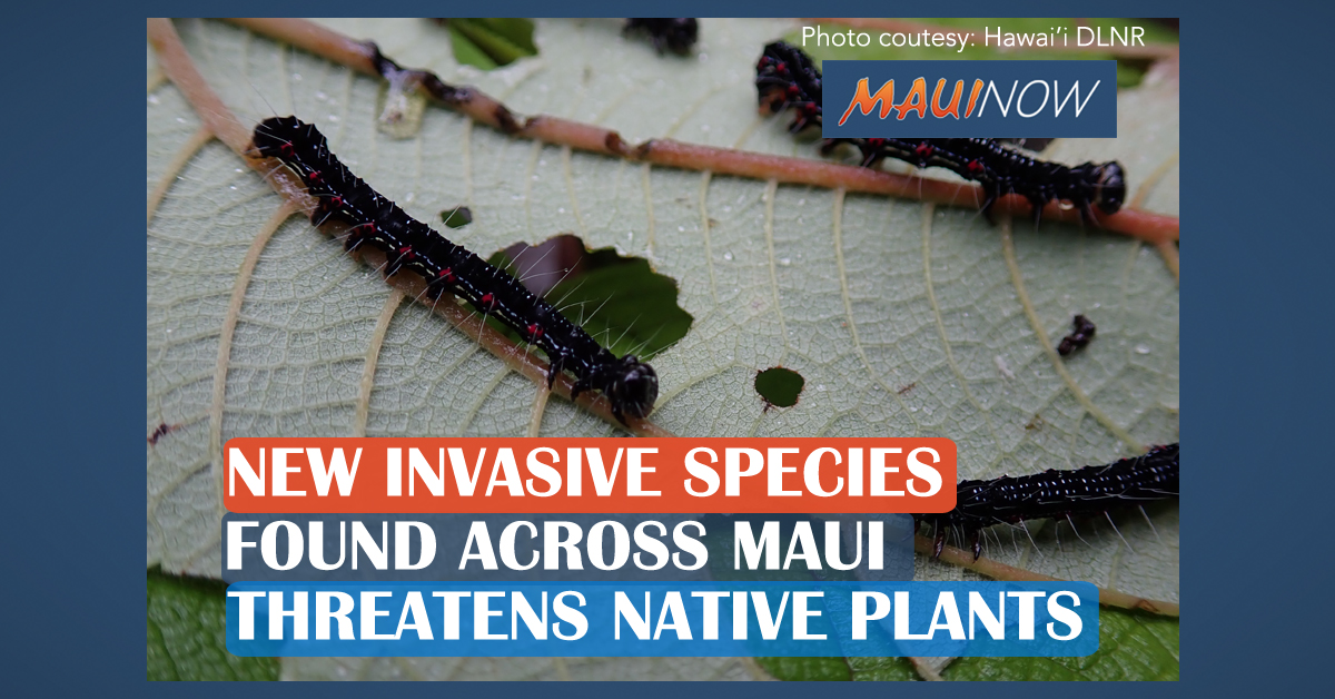 Invasive Caterpillar Threatens Rare Native Plants on Maui