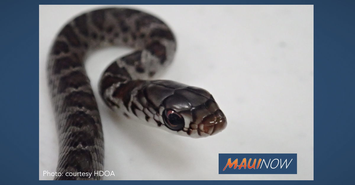 Stowaway Snake Found Slithering from Backpack of Maui Visitor