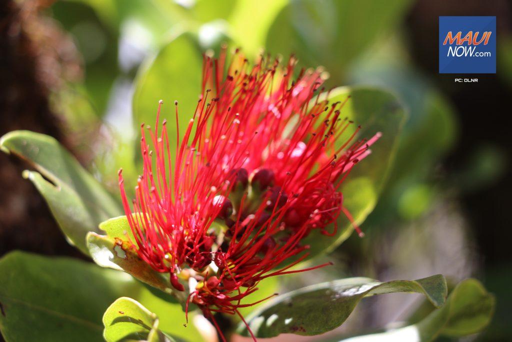 Maui Now: Rapid 'Ōhi'a Death Detection Prompts Maui Meetings