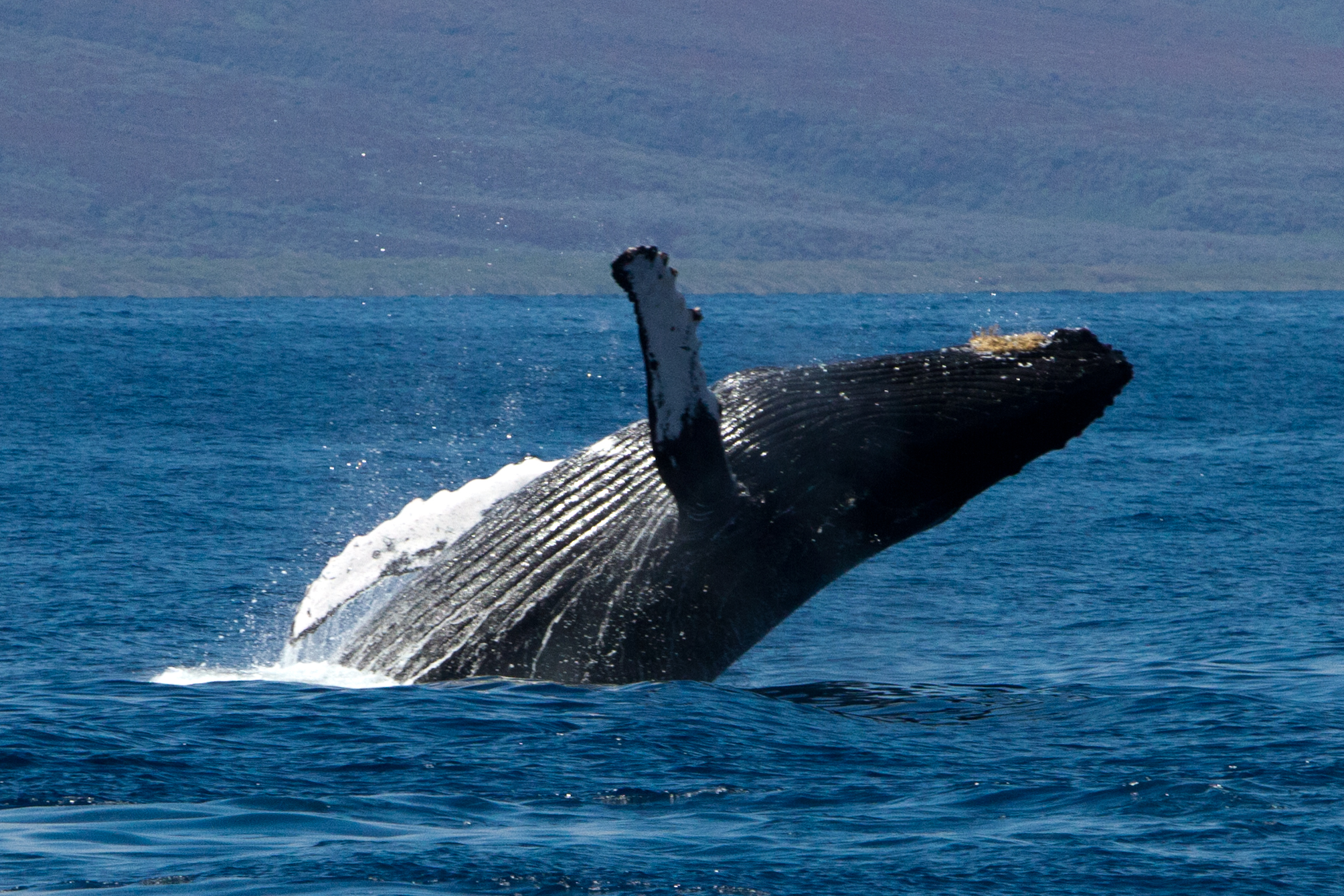 40th Annual Maui Whale Festival Begins Feb. 1