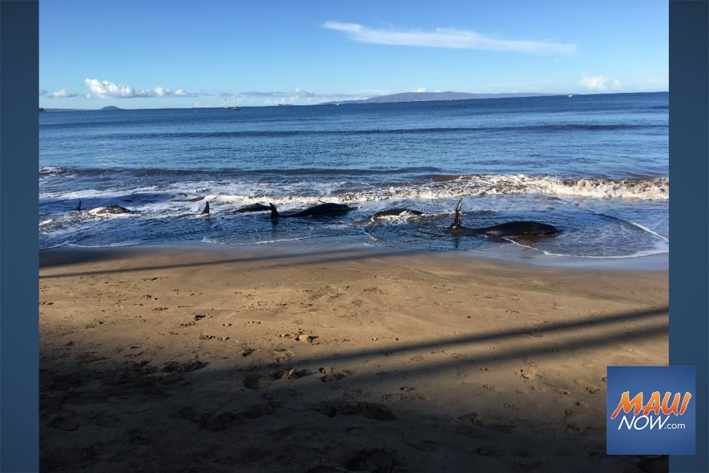 Maui Now: Update: Stranded Whales Suffered From Lung Abnormalities