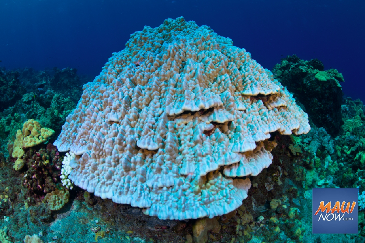 DLNR Asks for Publicʻs Help Ahead of 'Widespread and Severe Coral Bleaching'