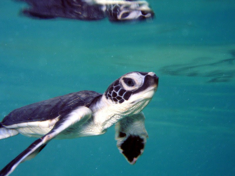 Lawsuit Launched to Protect Threatened Green Sea Turtle Habitat