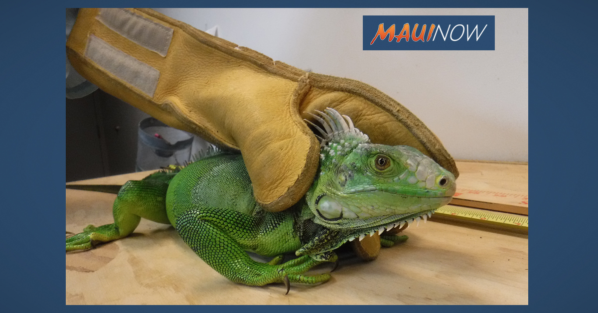 Three-Foot-Long Iguana Found in Wai'pio Gentry