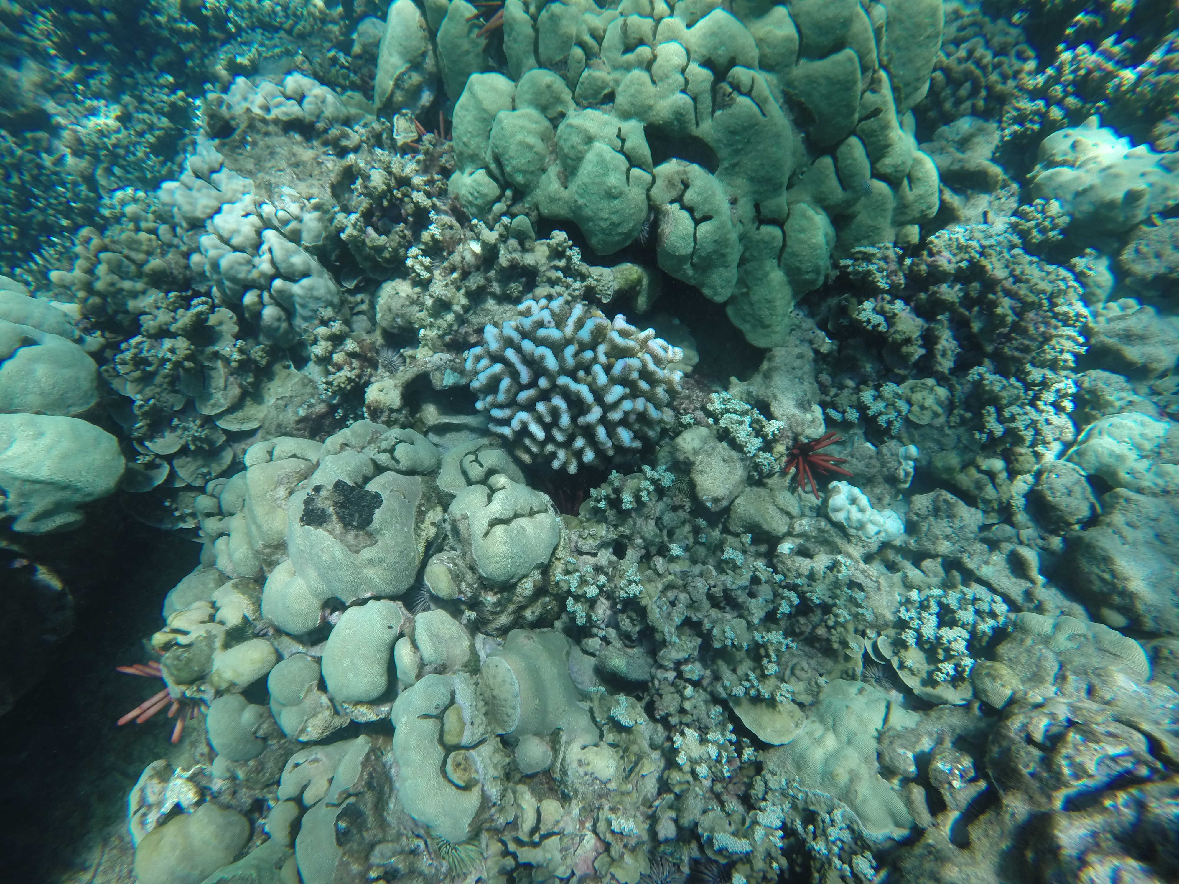 Lawsuit Alleges Failure to Protect Hawai'i Cauliflower Coral