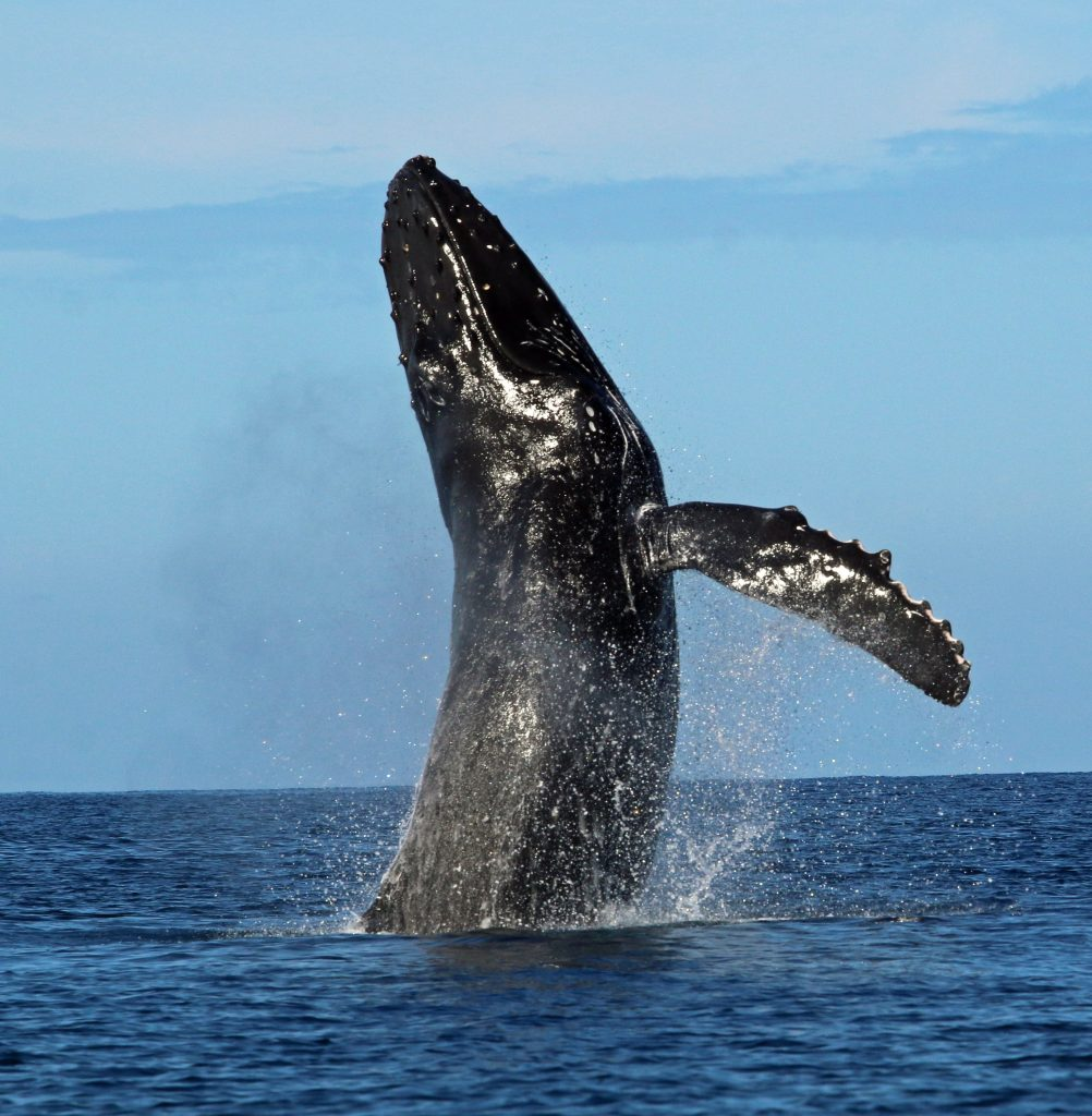 The Whales Are Back Reminder Be Whale Aware Maui Now