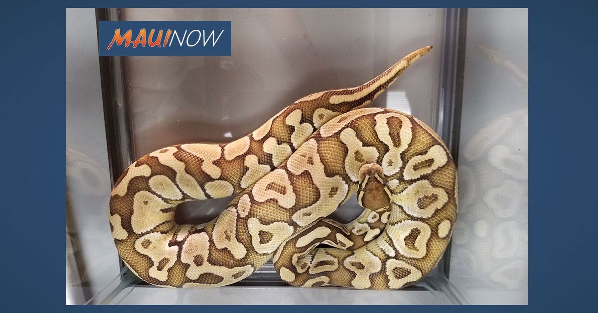 Ball Python Run Over by Passing Motorist in Hilo Survives