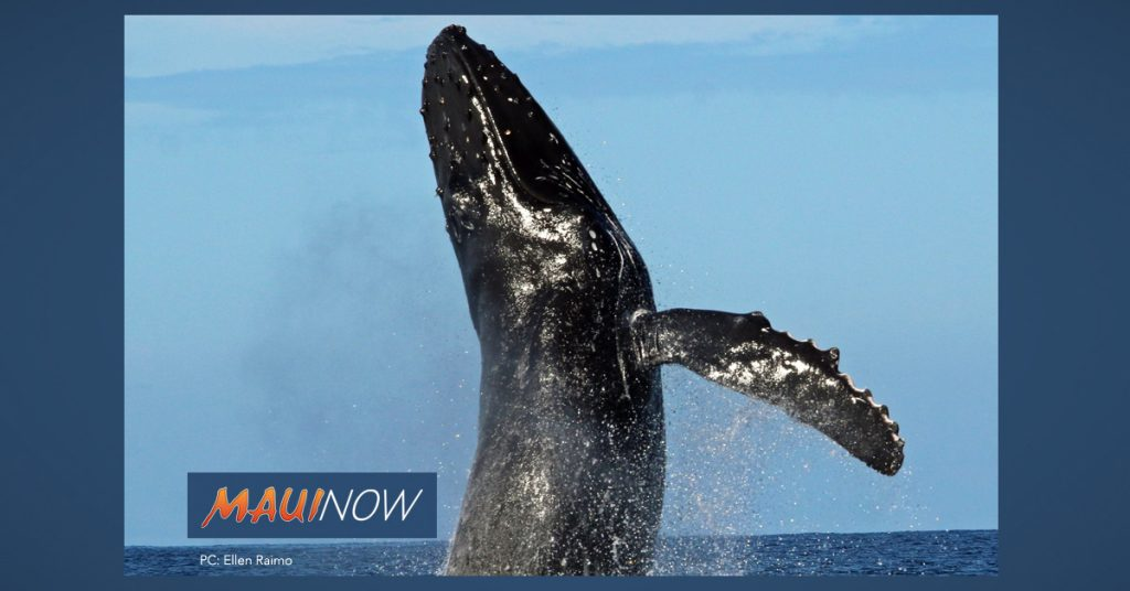 "Maui Now: The Whales Are Back! Reminder: ""Be Whale Aware"""