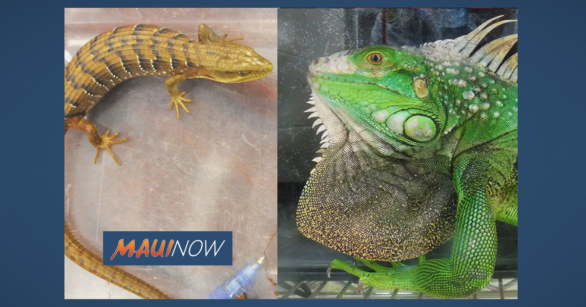 Alligator Lizard Found on Hilo Christmas Tree; Iguana Captured in Waimanalo