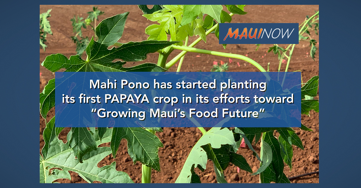 """Growing Maui's Food Future"": Mahi Pono's Papaya Crop Planted"