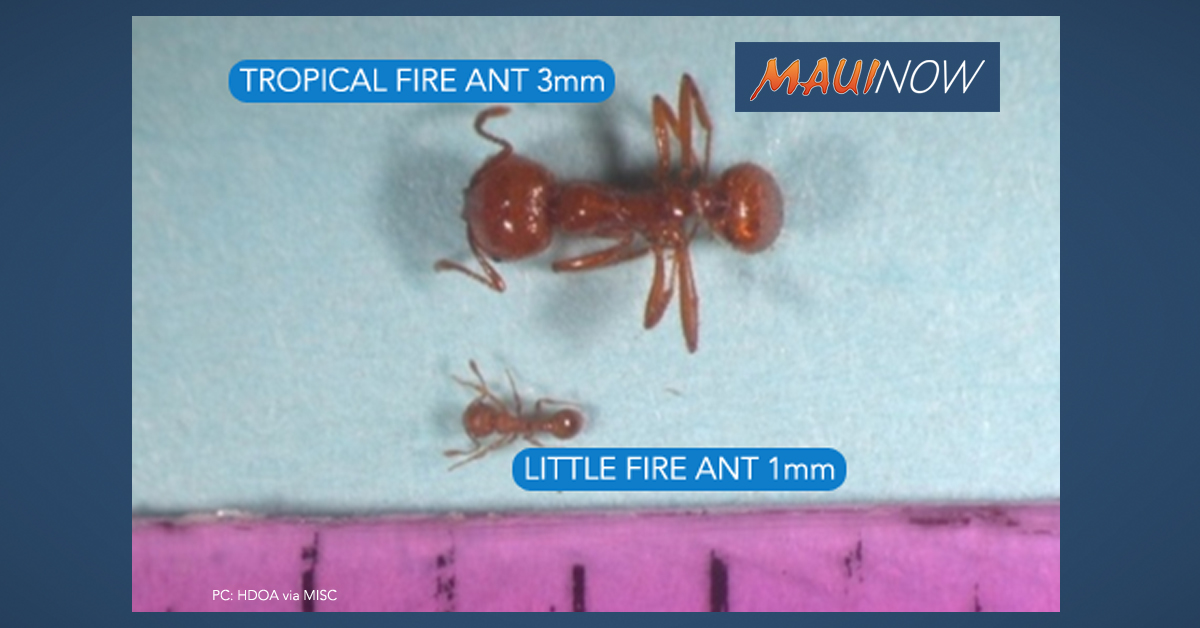 Central Maui Regional Sports Complex Reopen Today After Treatment of Tropical Fire Ants