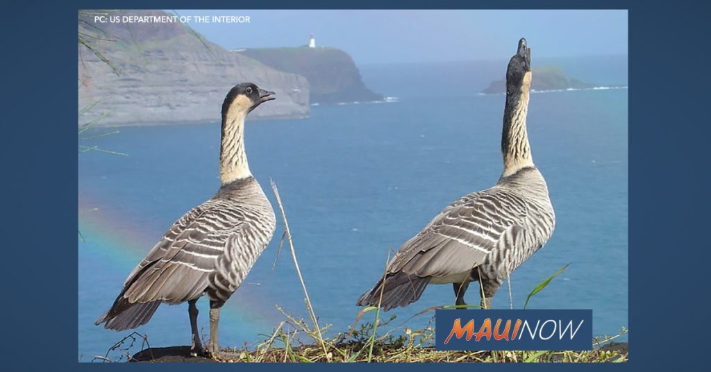 Maui Now: Nēnē Downlisted From Endangered to Threatened