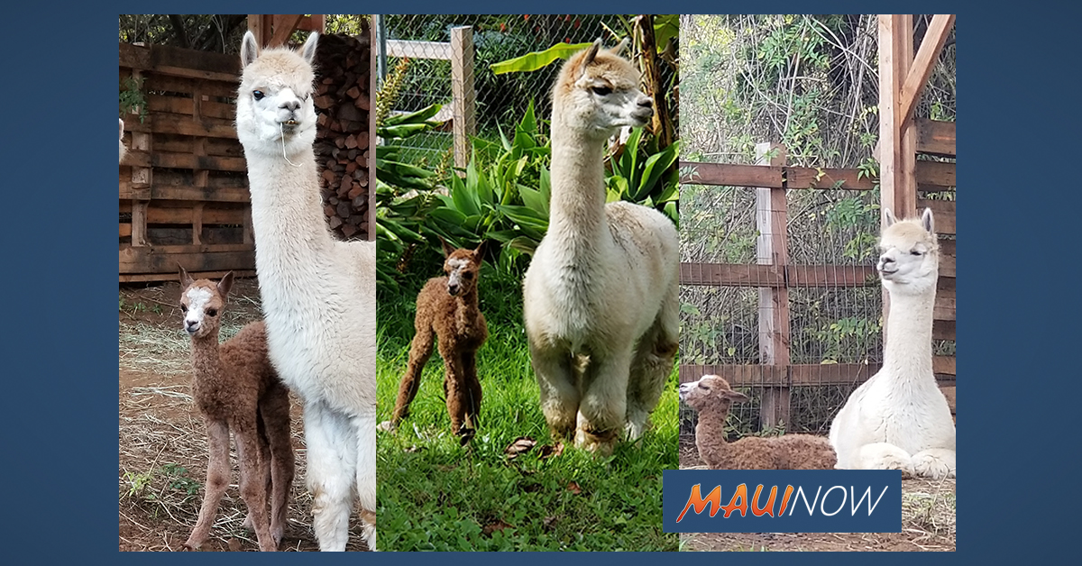 Baby Alpaca Birth at Kula Farm Comes as a Holiday Surprise