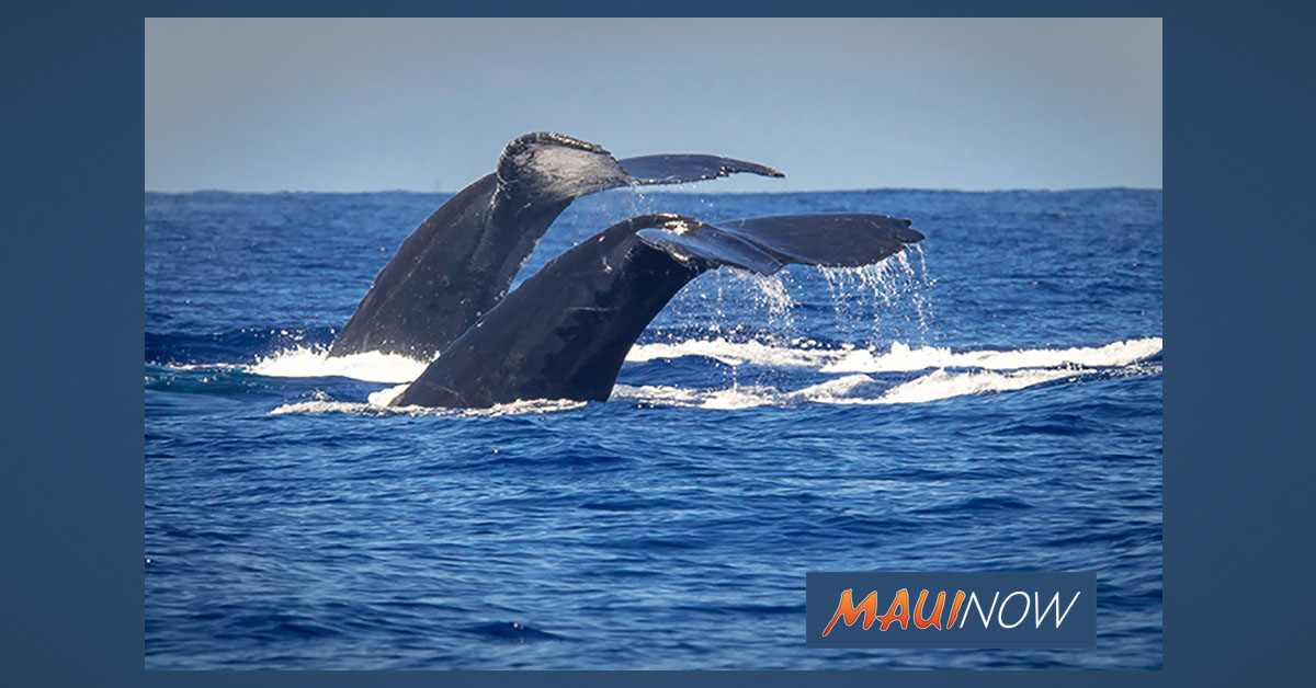 Hundreds Volunteer to Count Whales Across the Islands