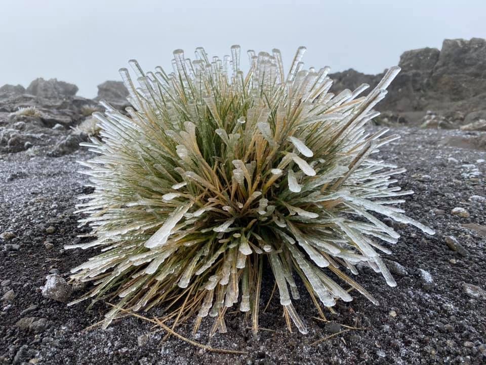 Scientists Are Finding Ways to Save the Haleakalā Silversword