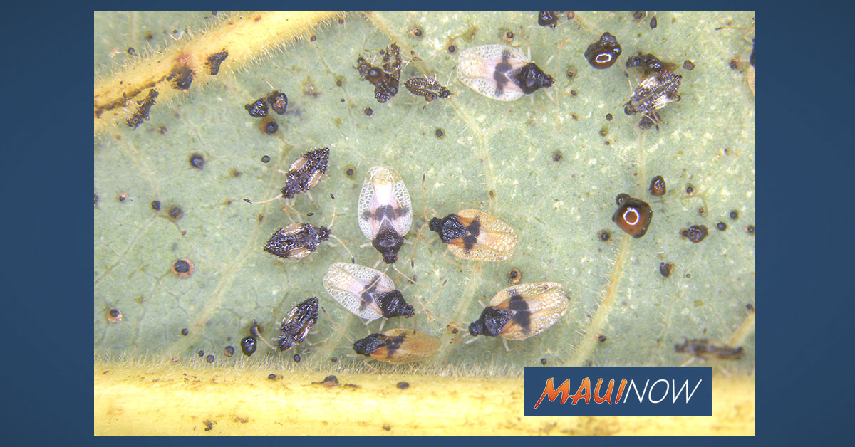 Avocado Lace Bug Detected in Hawai'i